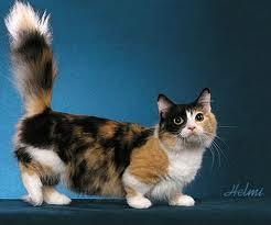 Munchkin Cat - Cat-Dachshund Munchkin Cat - Cat-Dachshund Munchkin Cat Kitten  Munchkin Cat
