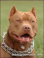 american pitbull red nose