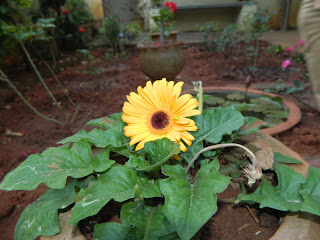 yellow gerbera plant