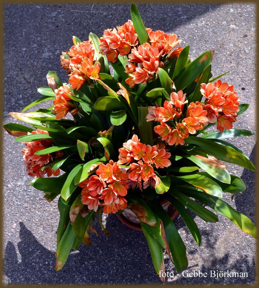 Gebbes naturliga dagbok: 31 juli   några kuriosa växter i vår trädgård