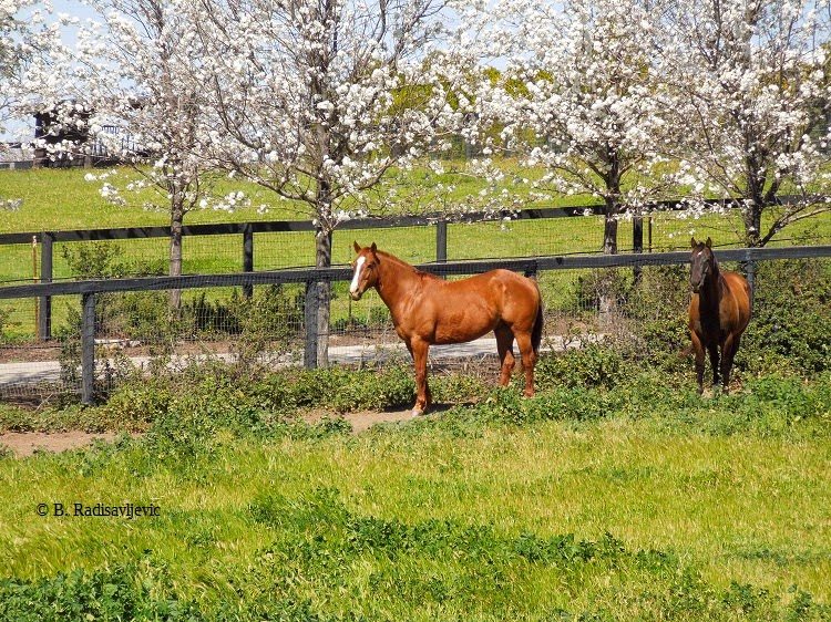 Flowering Trees and Horses, © B. Radisavljevic