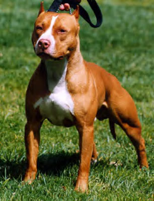 characteristics of the american pit bull terrier Learn about the bull terrier dog breed including information about its history,  personality, and what it's like to live with one.