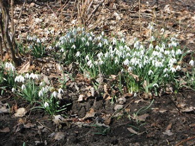 Drift of white snowdrops early spring by garden muses: a Toronto gardening blog