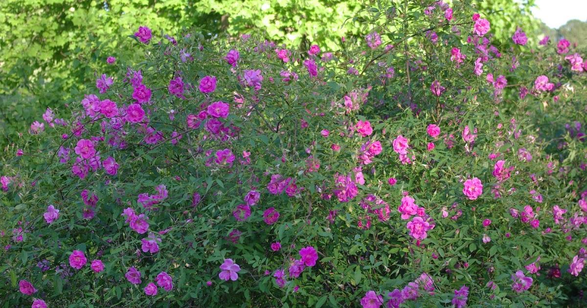 sweetbay: Rosa palustris scandens