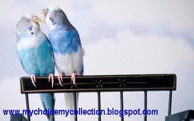 Beautiful Parrots Couple