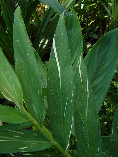 Foto de Hojas de Hedychium