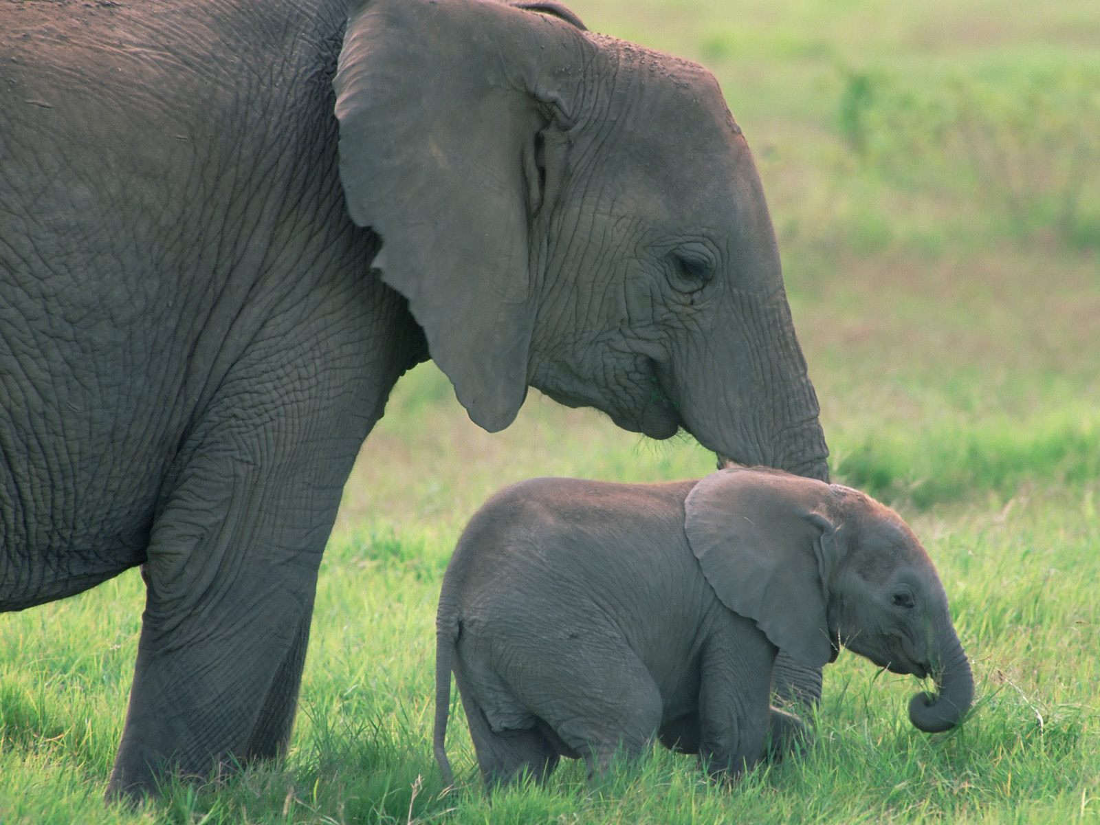 http://2.bp.blogspot.com/-WxC8q9jLmU0/Tb2wxSphvDI/AAAAAAAAIfE/X2gEDeZm38E/s1600/cute-little-african-baby-elephant-with-his-mother-pictures-wallpapers.jpg