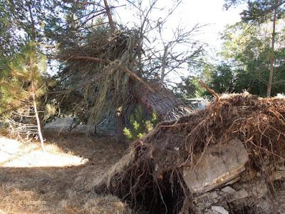 Fallen Pine Tree, © B. Radisavljevic