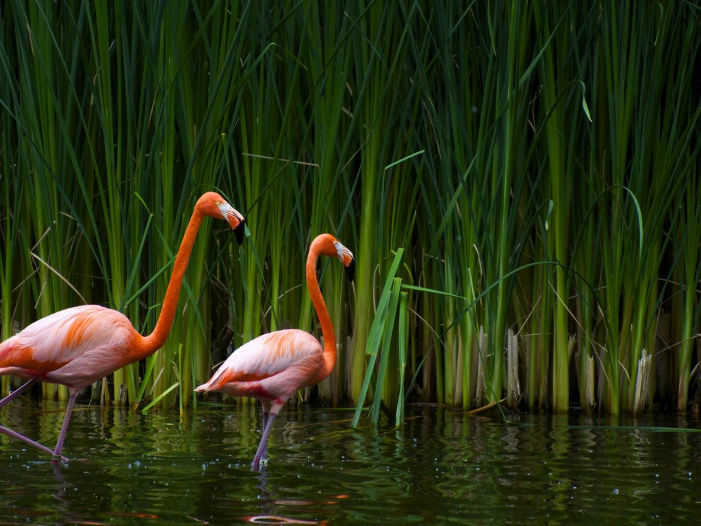 pink flamingo 1 birds - photo #19