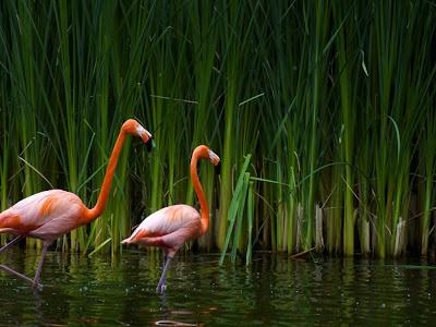 Birds Pink flamingos wallpaper
