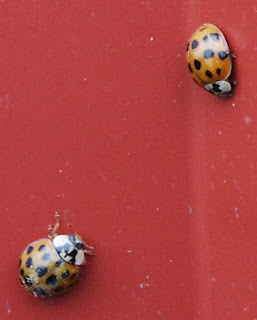 How To Get Rid Of Asian Ladybugs 91