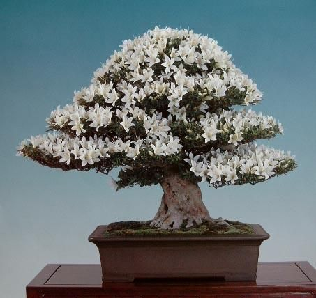 beautiful and rare bonsai trees screensavers and images