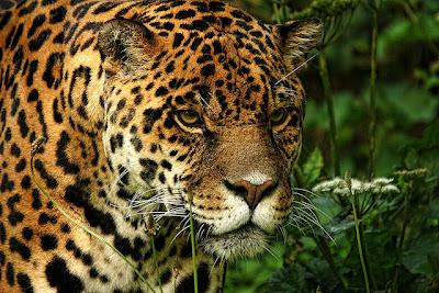 Tiger in Dartmoor Zoological Park.