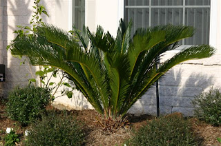 Sago palm is suitable for growing in pots.