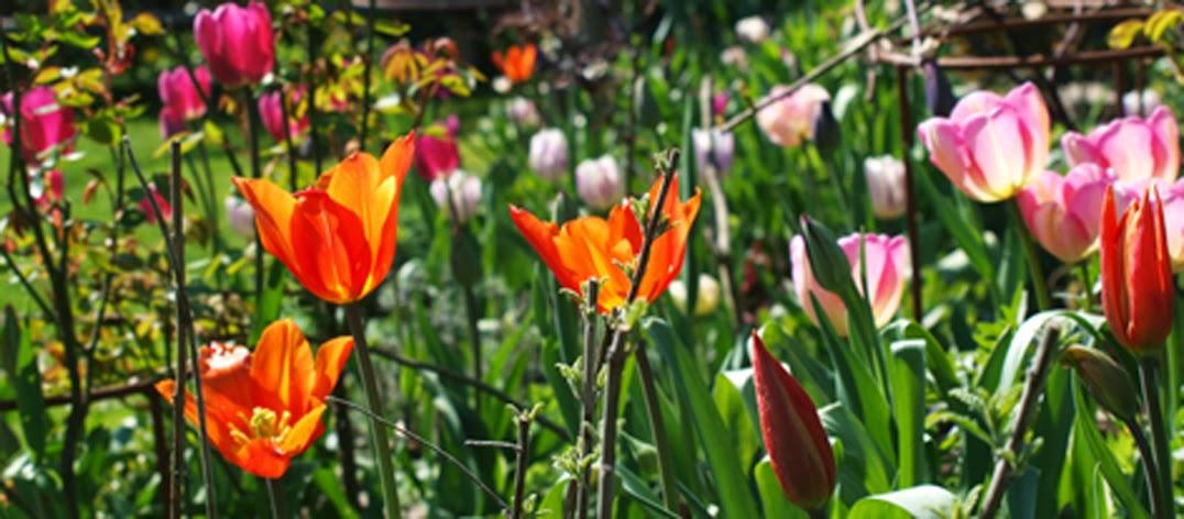 """Tulipaner """"Ballerina"""",  """"New Design"""", Don Quichotte og """"Maytime"""" blomstrer i havens ene bedgruppe"""