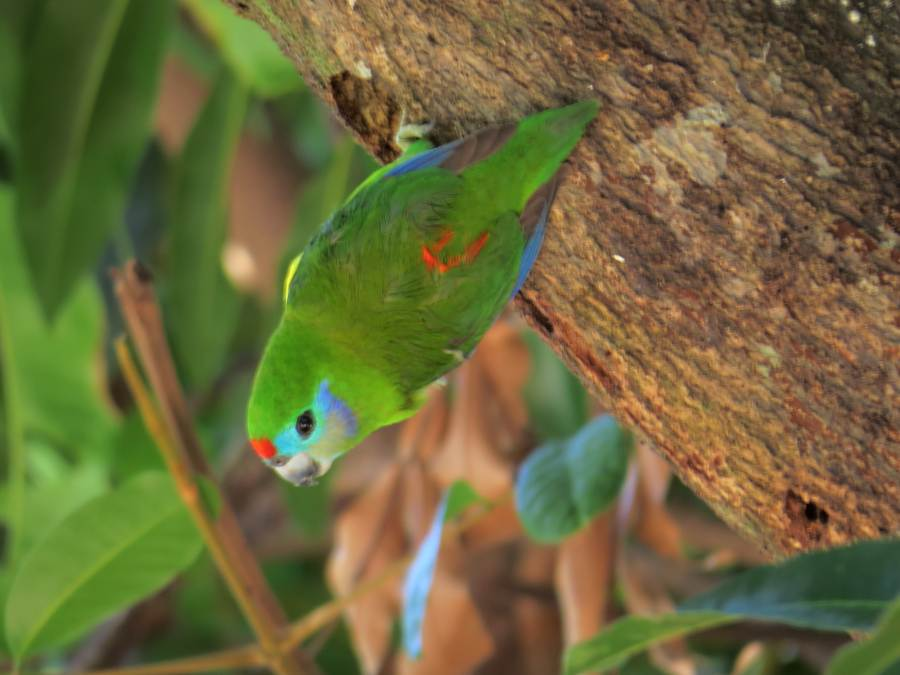 fig parrot at nesting hole entrance
