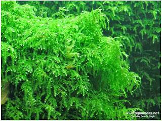 gambar-Weeping-Moss-Vesicularia-Ferriei-Tanaman-moss-aquascape