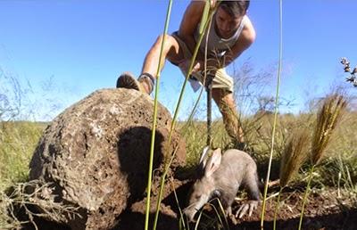 Danny Mac caring for an aardvark