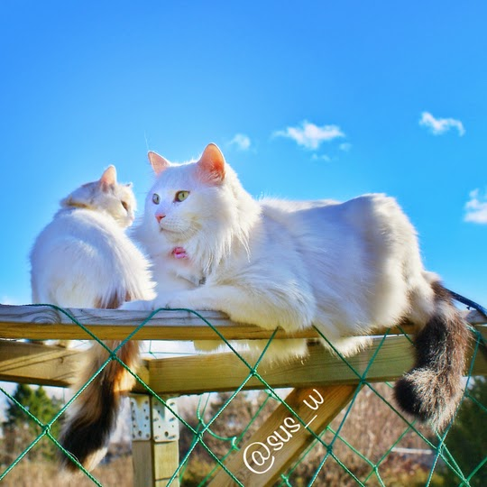 Turkish Van cats from Sweden