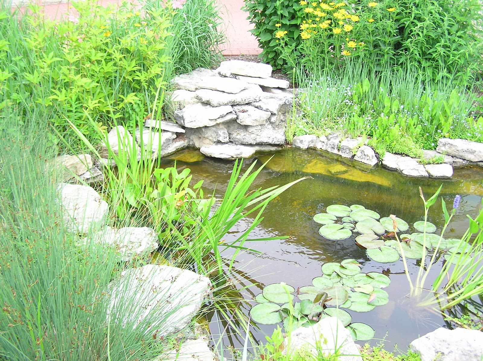 My fresh water aquarium natural planted tank walstad for Outdoor aquarium pond planter