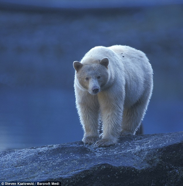 EPIC Creature of the Month!: Kermode Bear (AKA Spirit Bear or ...