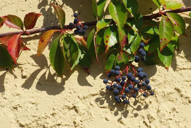 Parthenocissus quinquefolia in fruit - Virginia Creeper in fruit