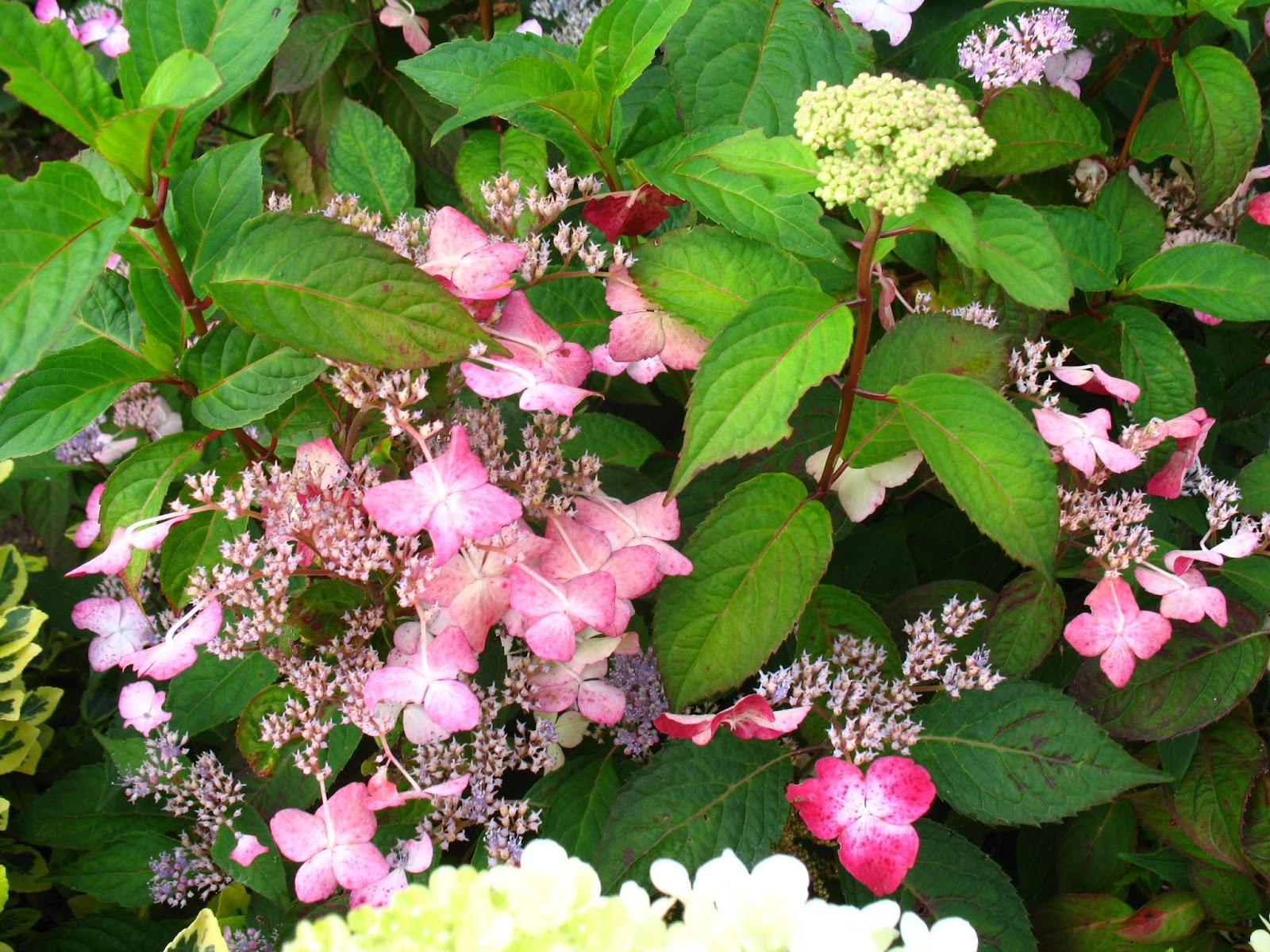 Roses du jardin ch neland hydrang a serrata kurenai - Mon voisin fait du feu dans son jardin ...