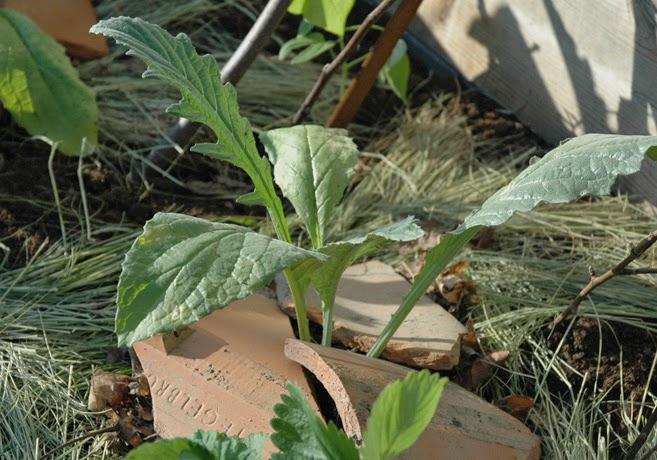 Liten kronärtskocksplanta med roten skyddad av tegelpannor.