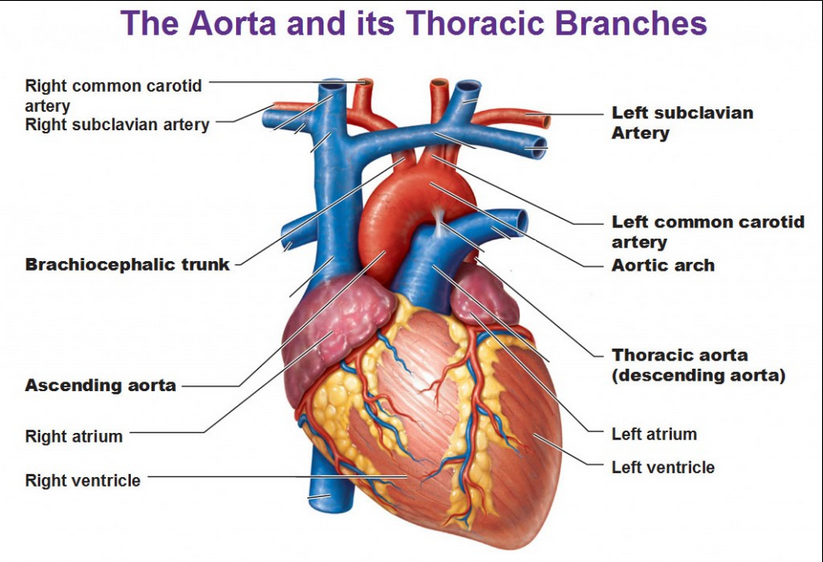 Heart Aorta Diagram Gallery Human Anatomy Organs Diagram