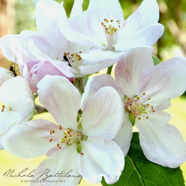 Apple Blossoms in the Pixie Hill garden - Nichola Battilana