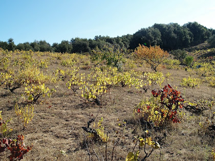 L'última vinya del terme de Vilalba Sasserra