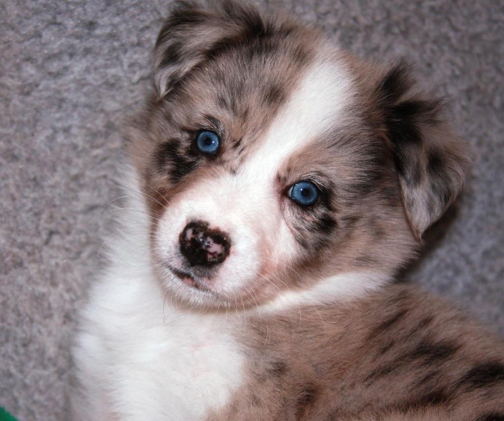 Cute Puppy Dogs Cute Australian Shepherd Puppies