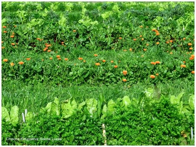 Canteros prontos para la cosecha - Chacra Educativa Santa Lucía