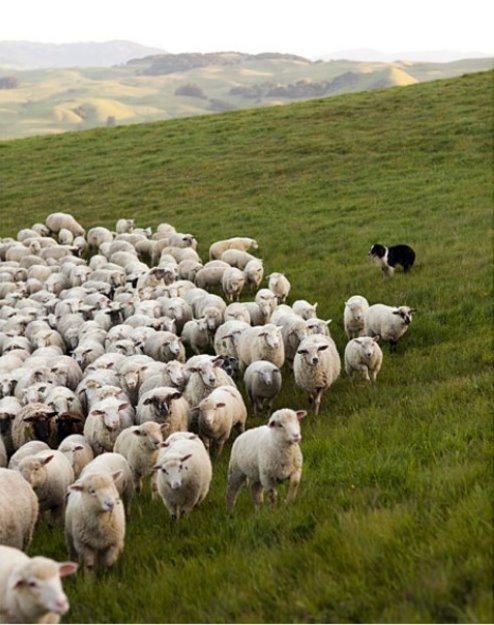 White sheep herd - photo#19