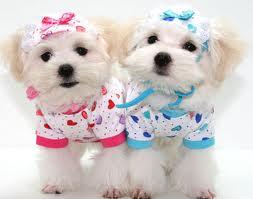 Anjing samoyed lucu karena bulu dan mukanya ketika kecil anjing