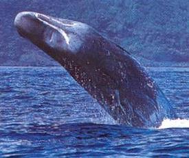 Fotografia del Cachalote saliendo del mar