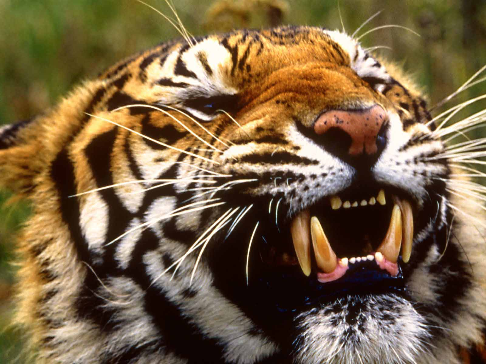 HQ Wallpapers Bengal Tiger Wallpapers