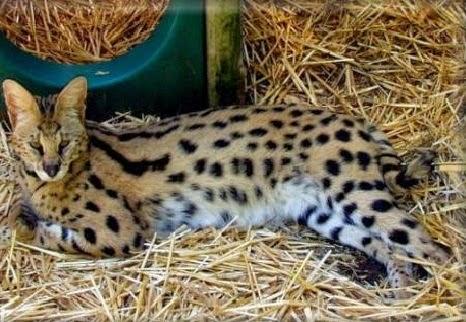 Kucing Savannah Kucing Terbesar