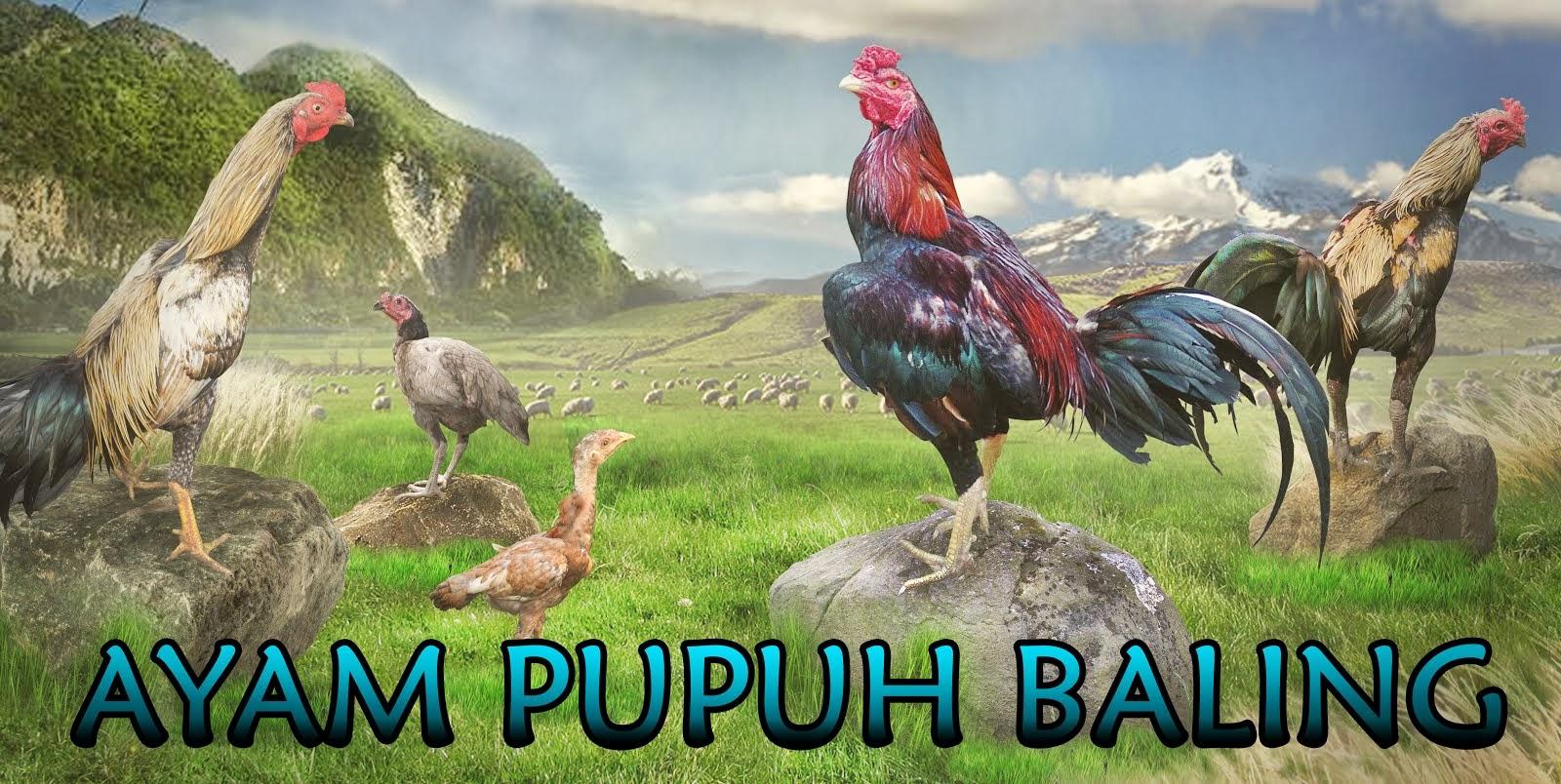 AYAM PUPUH BALING