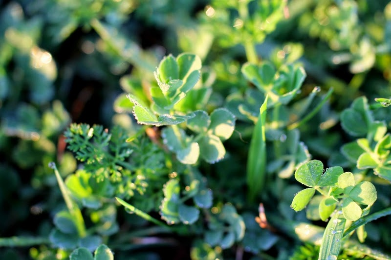 clover and dew