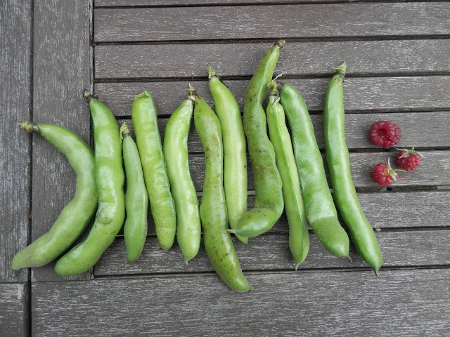 Broad beans. Home grown garden harvest. UK garden blogger secondhandsusie.blogspot.co.uk