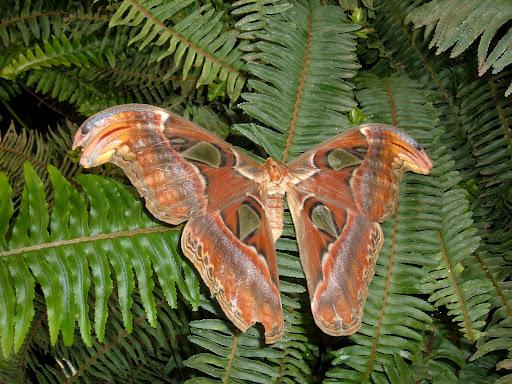 Totul despre fluturi: Attacus Atlas