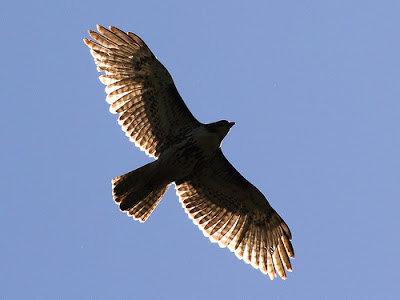 Huntley Meadows Juvenile Red-tailed Hawk 2, by Mr. T in DC, Creative Commons License