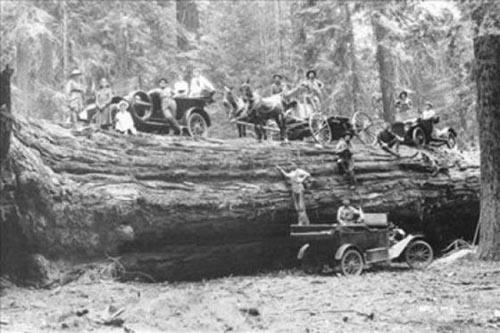 Foto-foto Pohon Berukuran Raksasa Yang pernah di Temukan