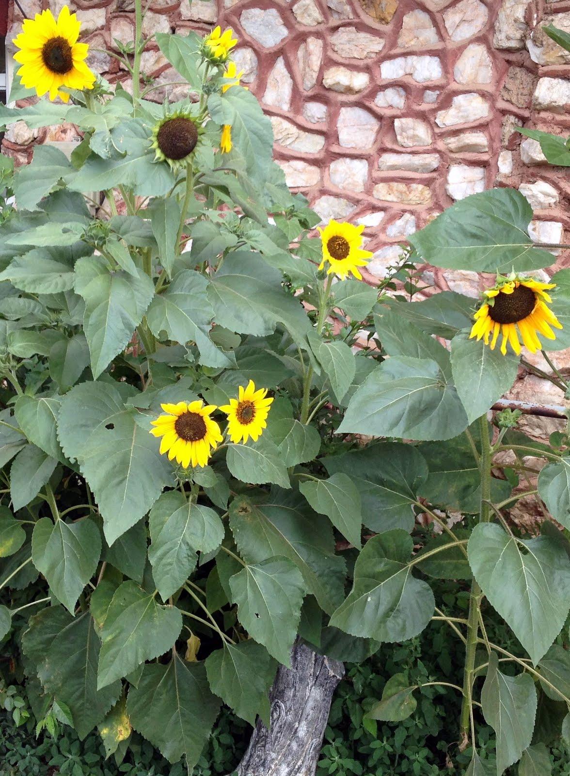 Nature S House Sunflower Kernels