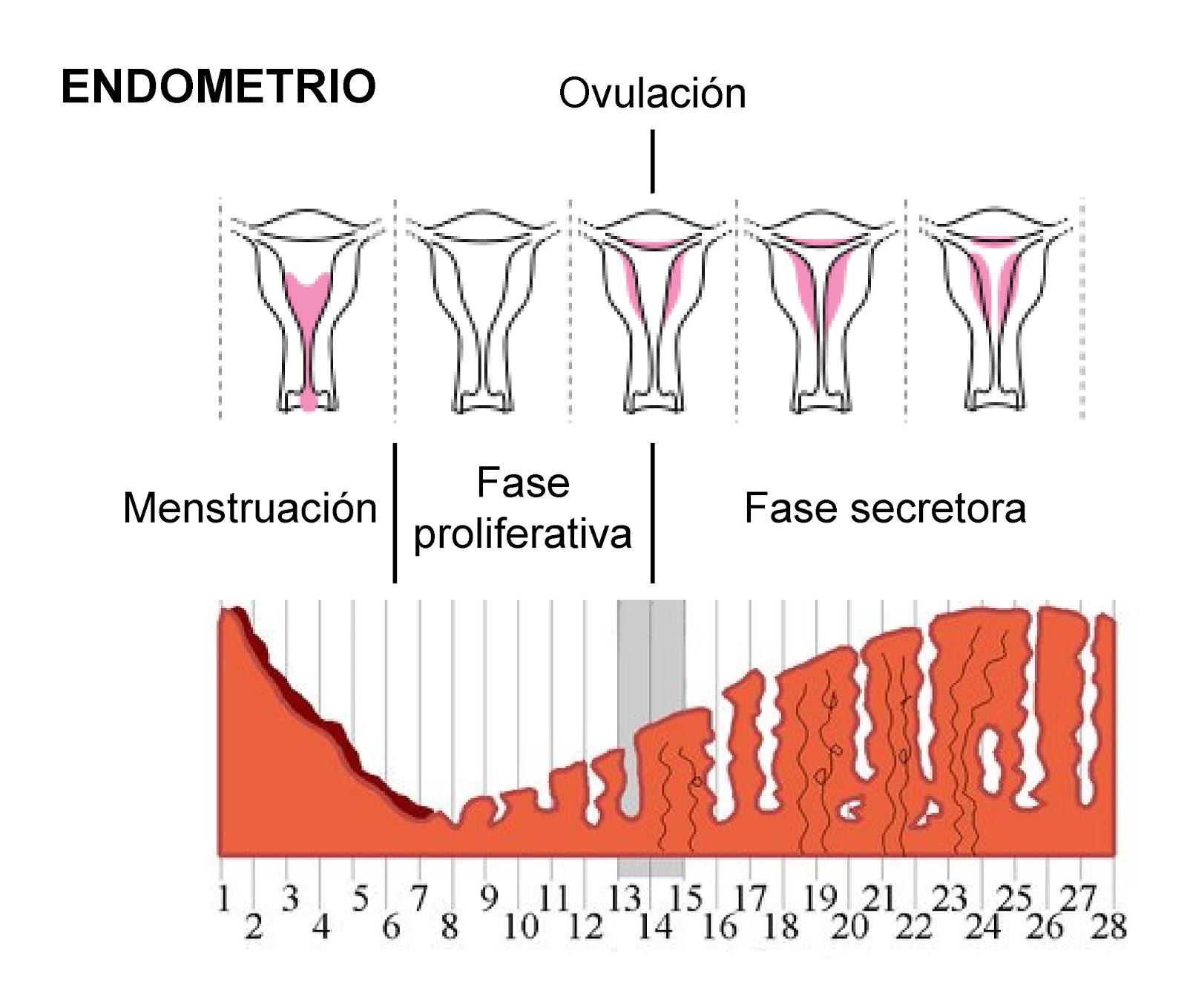 Crecimiento y desarrollo del endometrio a lo largo del ciclo menstrual