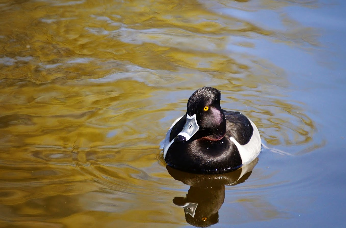 Ошейниковая чернеть. Отличается черным окрасом спины и головы с белыми полосами на клюве.