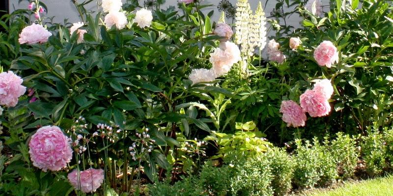 Pæon Sarah Bernhardt