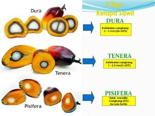 Spesifikasi kelapa sawit dura, pisifera dan tenera