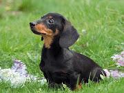 Dachshund Puppy Picture. Dachshund Puppy Pictures